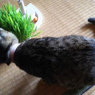 キジトラ🐈️オス♂生後4ヶ月くらい🐱 − 広島県