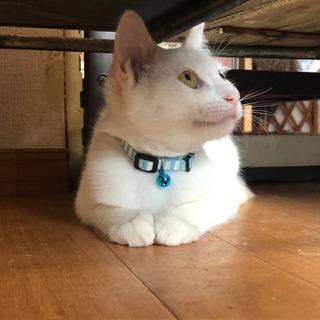 とっても穏やか白猫くん - 猫