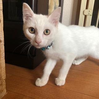 とっても穏やか白猫くん - 邑楽郡