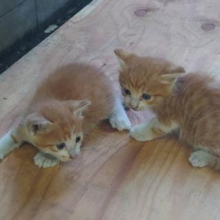 生後1ヶ月の茶トラくん双子 里親募集 届け出済み - 猫