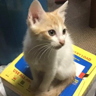 7/3生。生後2ヵ月仔猫。里親募集 一旦中止