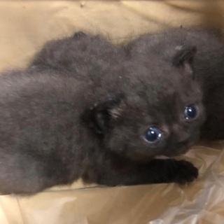 黒猫の赤ちゃん里親募集