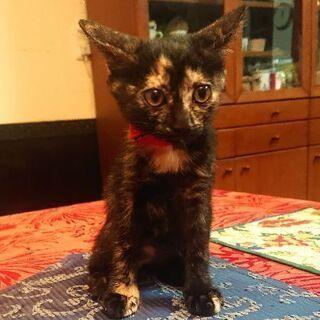 甘えん坊のサビ猫の女の子 ズズちゃん(1ヶ月)