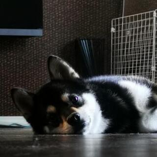 1歳 黒柴犬 10kg