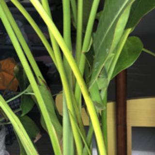 旅人の木 観葉植物 オーガスタの画像