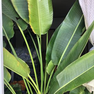 旅人の木 観葉植物 オーガスタ - その他