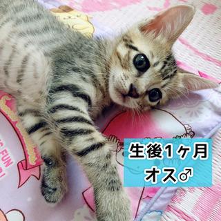 生後1ヶ月♡キジトラ♂