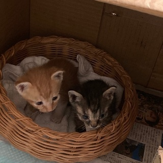 (一時中断)野良猫が産んでしまった仔猫3匹です。届出済み(飼い主不在を確認済み) - 古河市