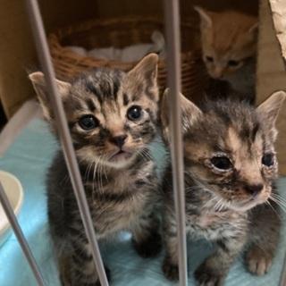 (一時中断)野良猫が産んでしまった仔猫3匹です。届出済み(飼い主不在を確認済み) − 茨城県