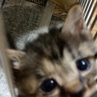 (一時中断)野良猫が産んでしまった仔猫3匹です。届出済み(飼い主不在を確認済み) - 猫