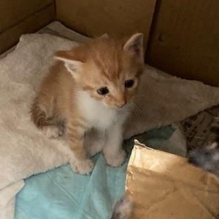 (一時中断)野良猫が産んでしまった仔猫3匹です。届出済み(…