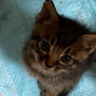 (一時中断)野良猫が産んでしまった仔猫3匹です。届出済み(飼い主不在を確認済み) - 里親募集