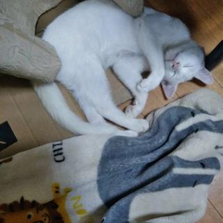 とっても穏やか白猫くん − 群馬県