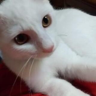 白猫 - 猫