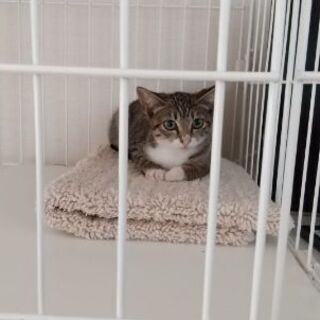 保護猫を迎えよう!生後2ヶ月。No.62ちゃん。