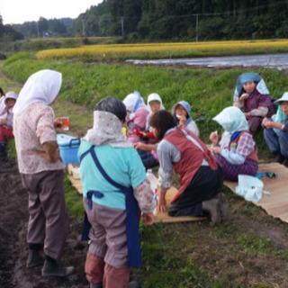 にんにく植え付け作業 − 青森県