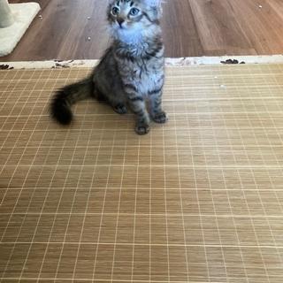 生後2ヵ月ノルウェージャンフォレストキャットの里親さん募集(受付停止しています) - 猫