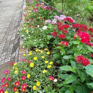 クモリン緑化花の会(花壇植栽のボランティア)夏の雲公園の花壇
