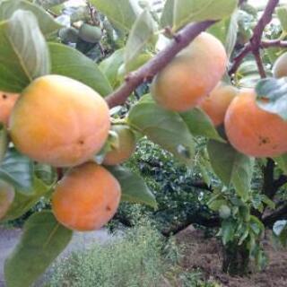 9月~12月   柿の収穫その他軽作業募集‼️