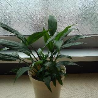 スパティフィラムミニメリー 観葉植物 2