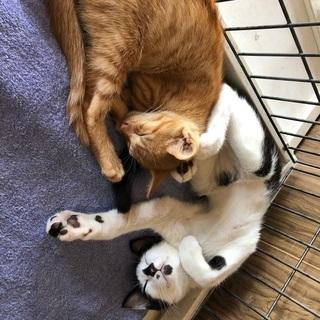 霊感猫なハチワレ君が優しい飼い主さんを待っています! − 埼玉県