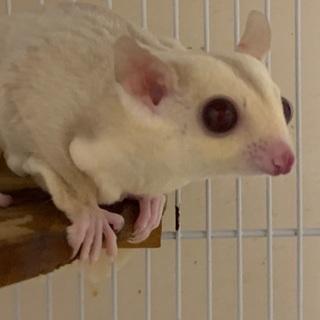 フクロモモンガ  クリミノ 3ヶ月 ♀