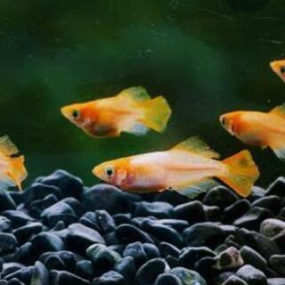 銀帯メダカ  幼魚20匹 1000円
