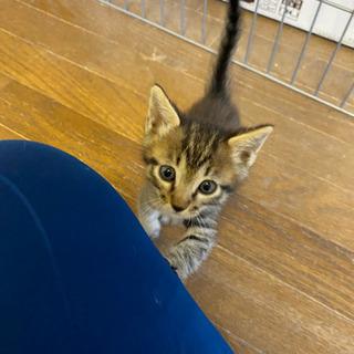 キジトラのオスの子猫(譲渡希望者様と交渉中です)