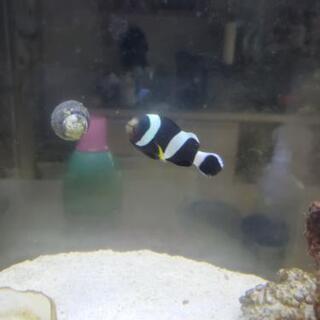 【ネット決済】ホワイトチップアネモネフィッシュ 生体 海水魚 ブ...