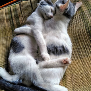 生後約4ヶ月のメスの子猫の里親さんを募集しています