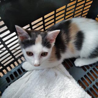 生後約4ヶ月のメスの子猫の里親さんを募集しています - 黒川郡