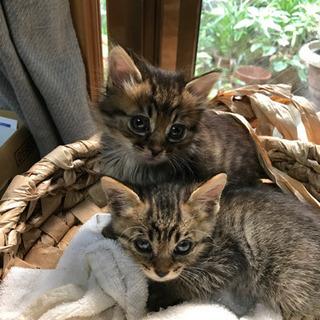 子猫2匹キジトラ