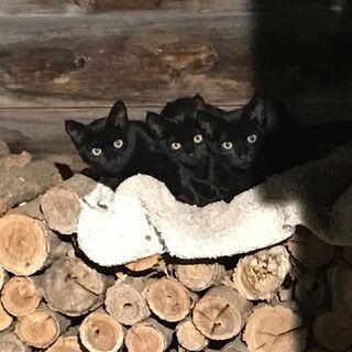 ツヤツヤ黒猫の3兄弟です。