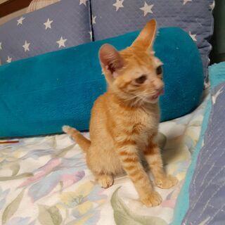 生後4か月過ぎのオスの子猫 - 会津若松市