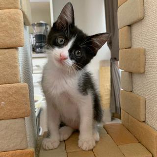 可愛いハチワレ2ヶ月 - 猫
