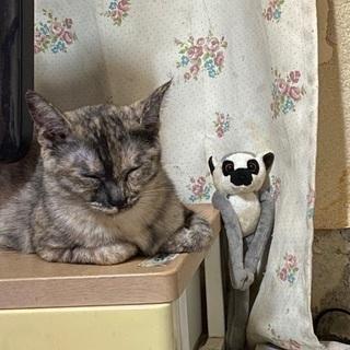 至急お迎え希望 - 猫