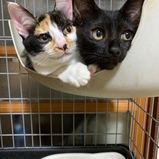 ミケ子猫、黒子猫 生後3ヶ月