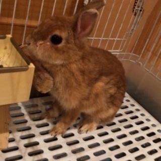 ミニウサギもらってください