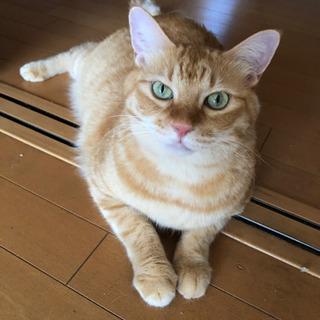 茶トラとキジトラの里親募集 − 岐阜県