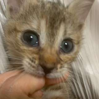 【至急里親募集中】生後1ヶ月の子猫。