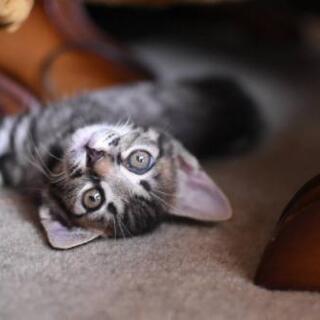 仮譲渡始まりました😆  黒、キジ💓ミルクで育てて良く懐いています💓 遊んでくれる先住猫さんのいるおうちにもお願いいたします🙇… - 寝屋川市