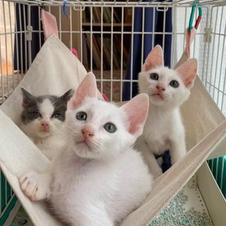 【お話中】白猫1ヶ月半♪男の子兄弟