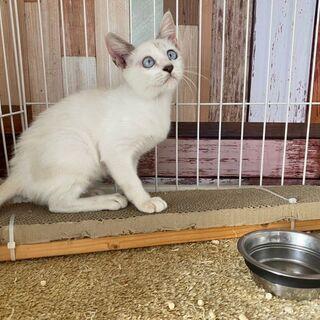 ブルーな瞳が可愛いね(*^^*) ちょっとどんくさい?3ヶ月女の子です!  - 猫