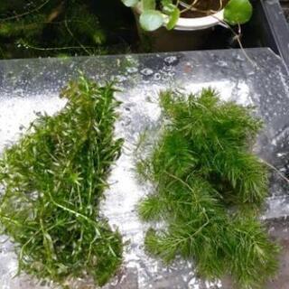 (受付停止中です)水草2種類さしあげます
