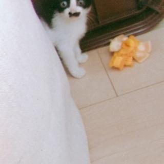 可愛いハチワレさん、人懐っこいキジトラさん - 猫