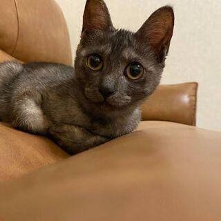 気付けばアナタを見ている。スモークグレーの家政婦系ネコ! 5ヶ月 かわいいです − 福岡県