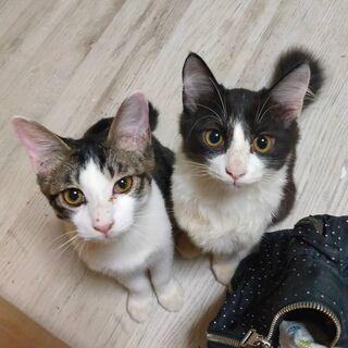 珍しいタキシード長毛子猫兄弟
