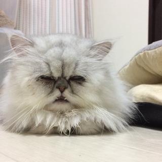 チンチラ二匹、他成猫6匹