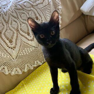 生後3~5か月位の毛艶のいい黒猫の男の仔