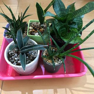 観葉植物 サンスベリア 5鉢セット
